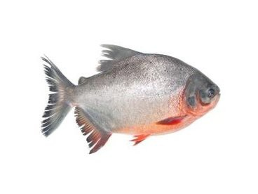 Cá Chim